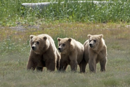three bears_0