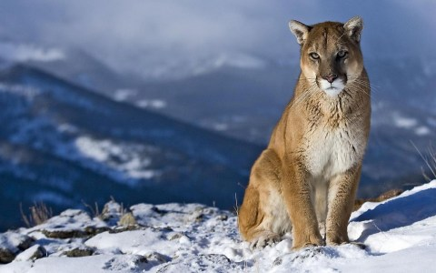 Mountain-Lion-Wallpaper