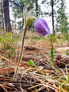 Pasque-Flower-Wildflower