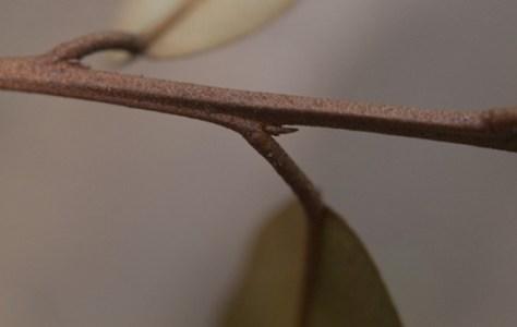Order Brassicales - Capperadaceae - Capperus - 06.20.2010 - 08.25.54
