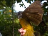 Birding at Finca Cantaros - 20130717 - 14