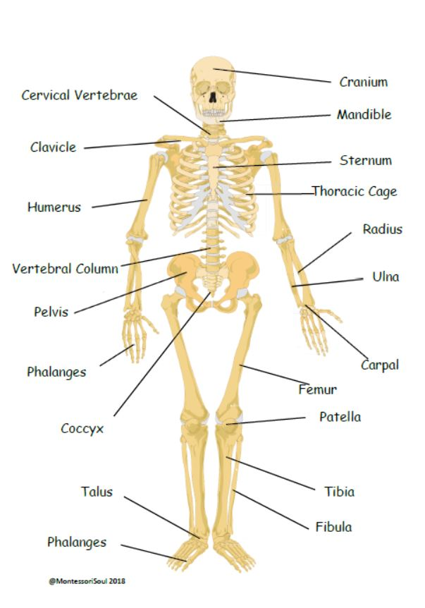 Human skeleton with scientific labels