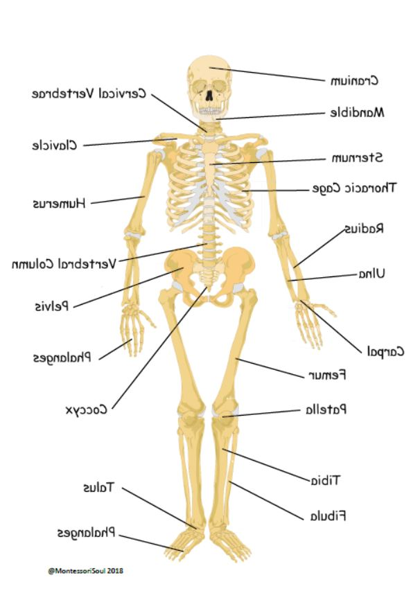 Human X-ray Printable with Scientific name labels