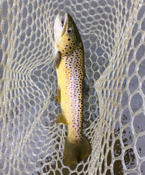 A Dutchess county born wild Brown Trout.