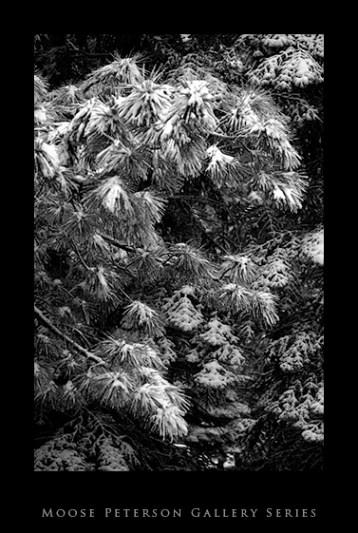 Backyard Pine in Snow.jpg