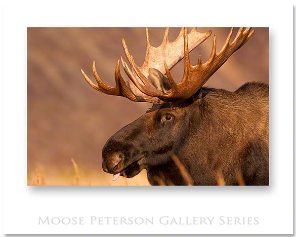 Alaskan Moose 2009