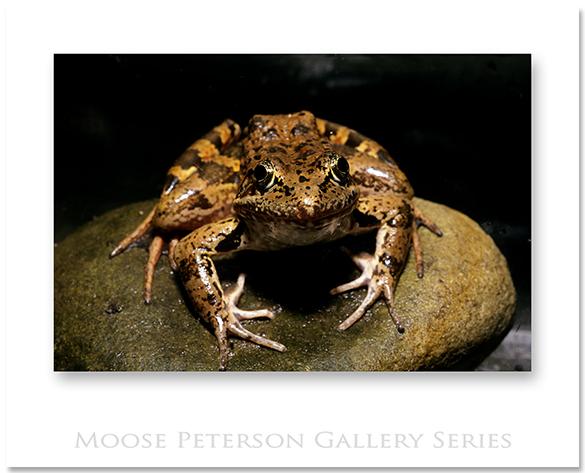 CA Red-legged Frog 0068