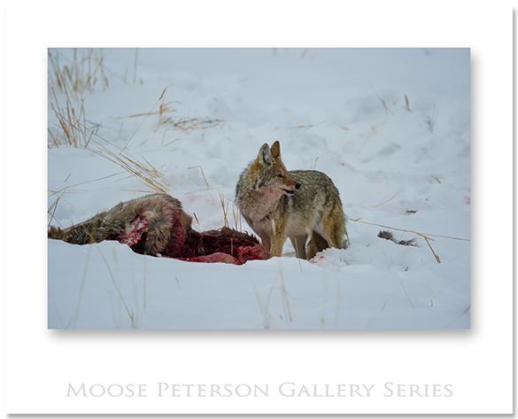 Coyote 1005
