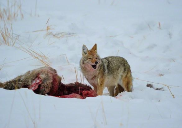 Coyote 1003