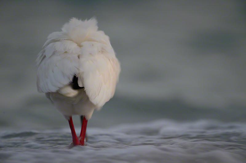 White Ibis 1739