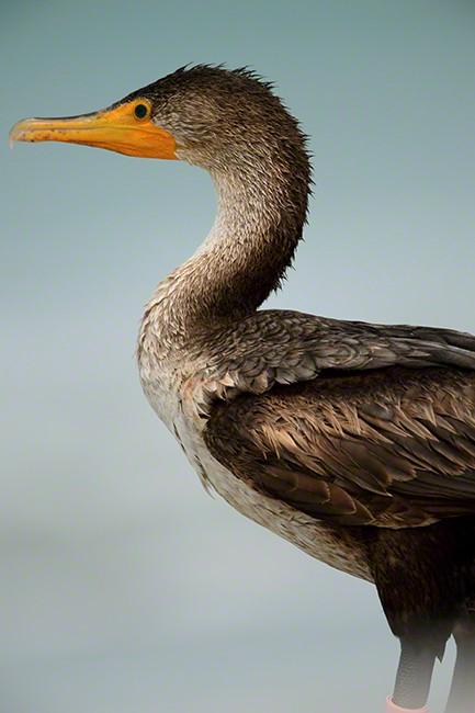 Dbl-created Cormorant 0576
