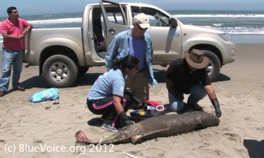 Hardy Jones (kneeling) and Dr. Carlos Yaipen Llanos (right) with a dead dolphin on Peru's northern coast: Courtesy BlueVoice.org
