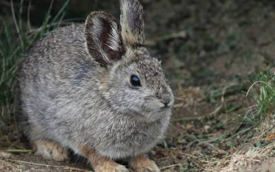 Wild Rabbits Of NorCal