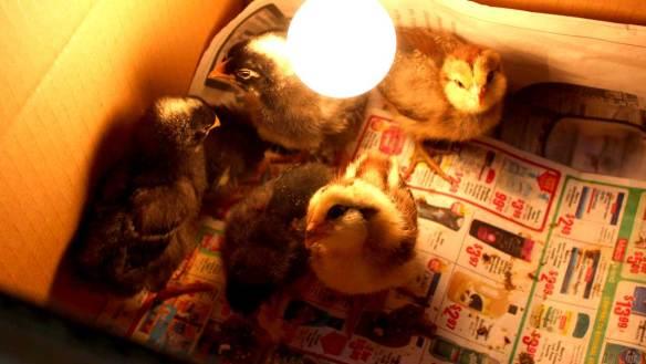Chicks_in_Brooder