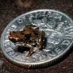 new species -frog