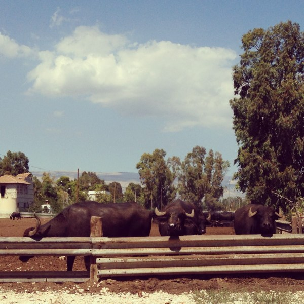 Bufali, buffaloes in Italy, on Ms. Adventures in Italy by Sara Rosso