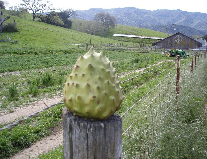 Cherimoya from the Santa Barbara Farmers Market, photographed in the Santa Ynez Valley (from SeasonalChef.com).