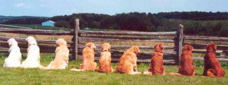 Colores del Golden Retriever