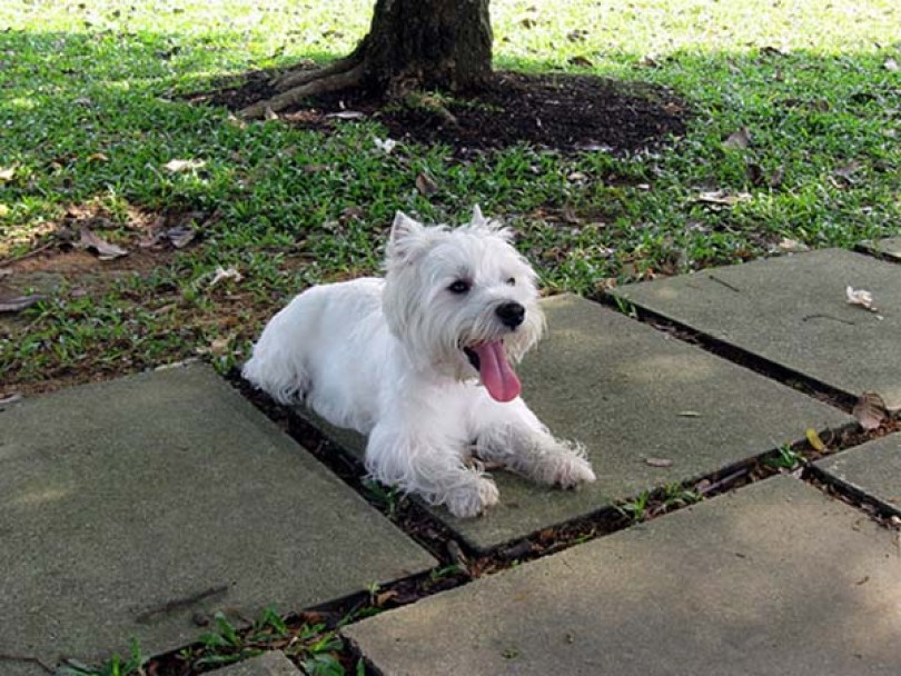 West Highland White terrier longevidad