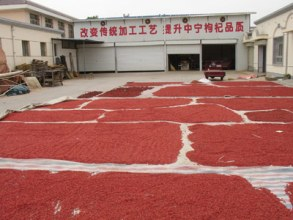 drying-goji-berries