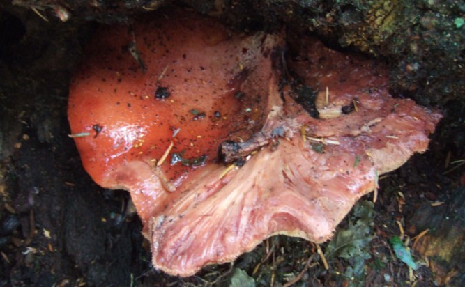 Older Beef Steak Fungus