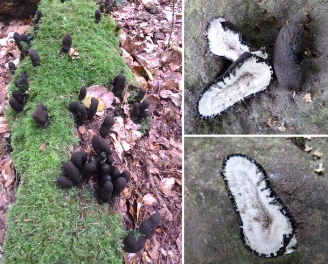 Dead Man's Fingers Pictures