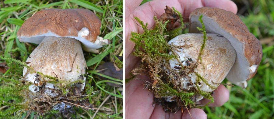Boletus edulis Mushroom UK