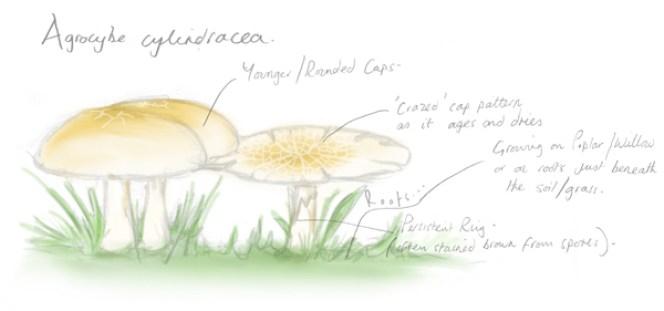 Poplar Fieldcap Sketch