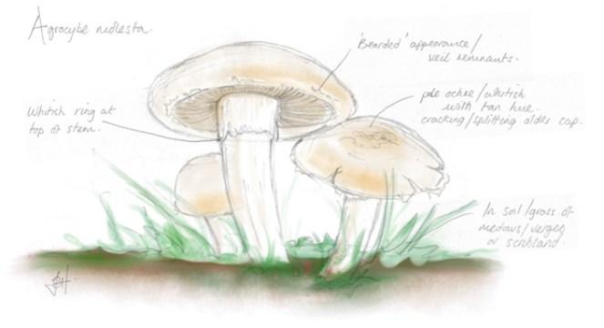 Fieldcap mushroom sketch