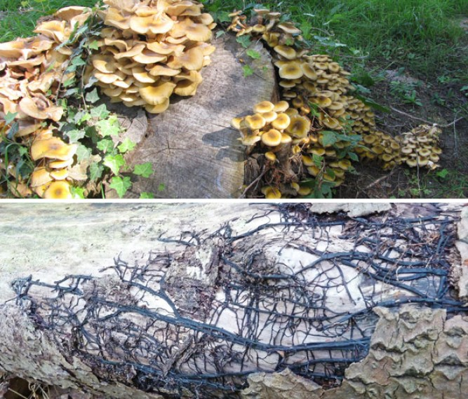 Grouped Honey Fungi and old Rhizomorphs