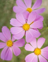 stock-photo-1974455-cosmos-flowers