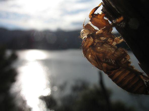 cicada close up