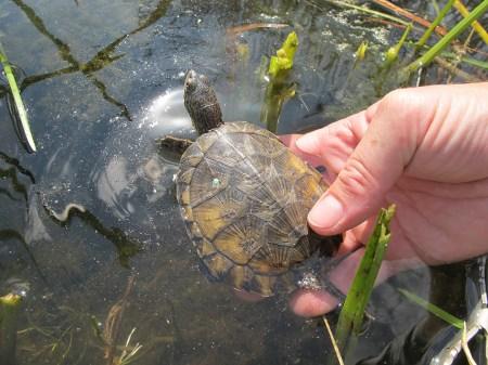 Pond Turtle Release Kirsten Pisto 8-13