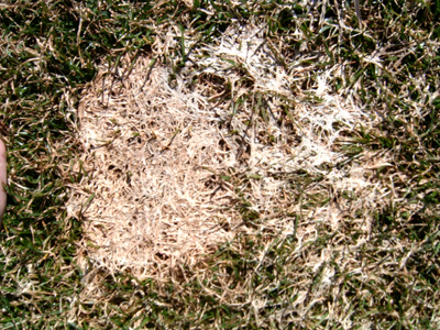 Grey-snow-mold