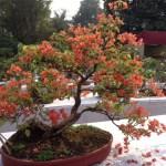 IMG_3197 bonsai bougainvillea