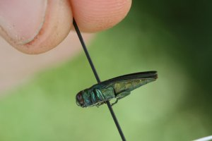 Recent cold weather cold help slow the spread of emerald ash borers. -RA ARCHIVE
