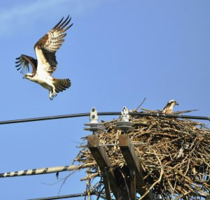 An osprey, nicknamed 'Oscar,' leaves a nest on a utility pole by Toby's Pond in Beacon Falls in 2013. -LYNN CRASKA