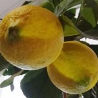 Захаросани лимонови кори