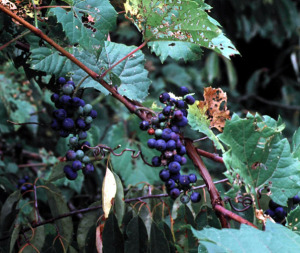 wild-grape-vine-riverbank-grape-vitis-riparia