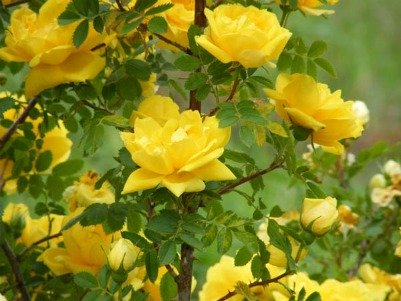 401xNxyellow-rose-of-texas.jpg.pagespeed.ic.8M5d1SJh_X