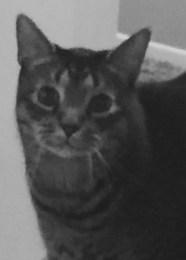 grey cat Sushi