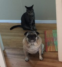 cat and pug together