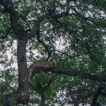 lepard chilling in the tree