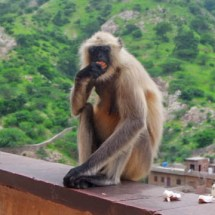 Jaipur-fort black head monkey