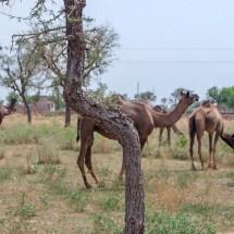Jodhpur-vishnois village camels I