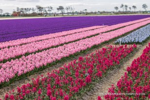 Picture of tulip fields in the Netherlands.