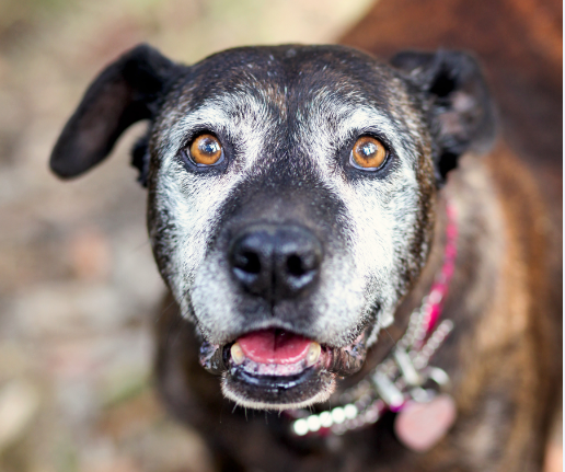 'My Old Dog' resource guide: Help senior dogs in need near you