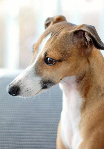 beau italian greyhound