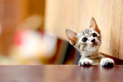 Süßes Kätzchen guckt neugierig über Tischkante