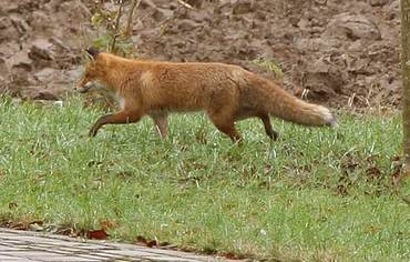 """Wo der Fuchs """"Guten Morgen"""" sagt"""